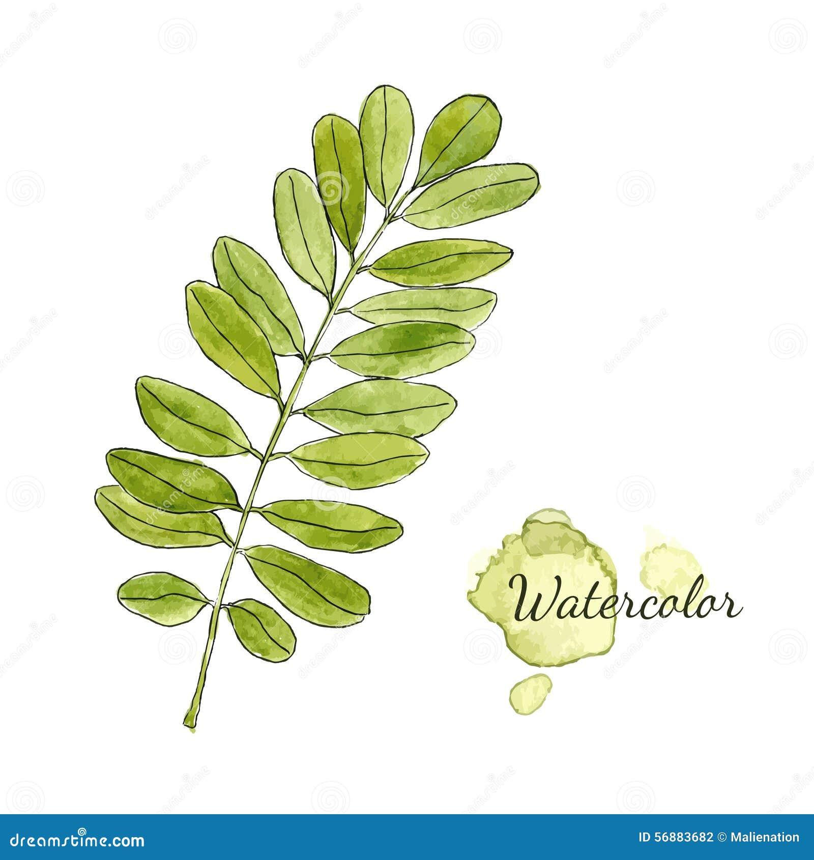 Ramo verde dell acacia dell acquerello con le foglie isolate Illustrazione disegnata a mano di vettore
