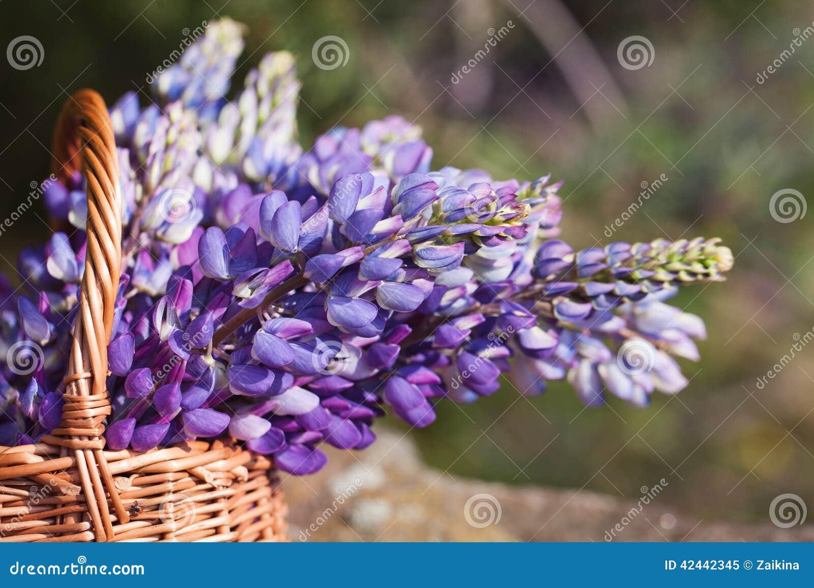 Ramo violeta hermoso del lupine del primer en cesta en el ai abierto