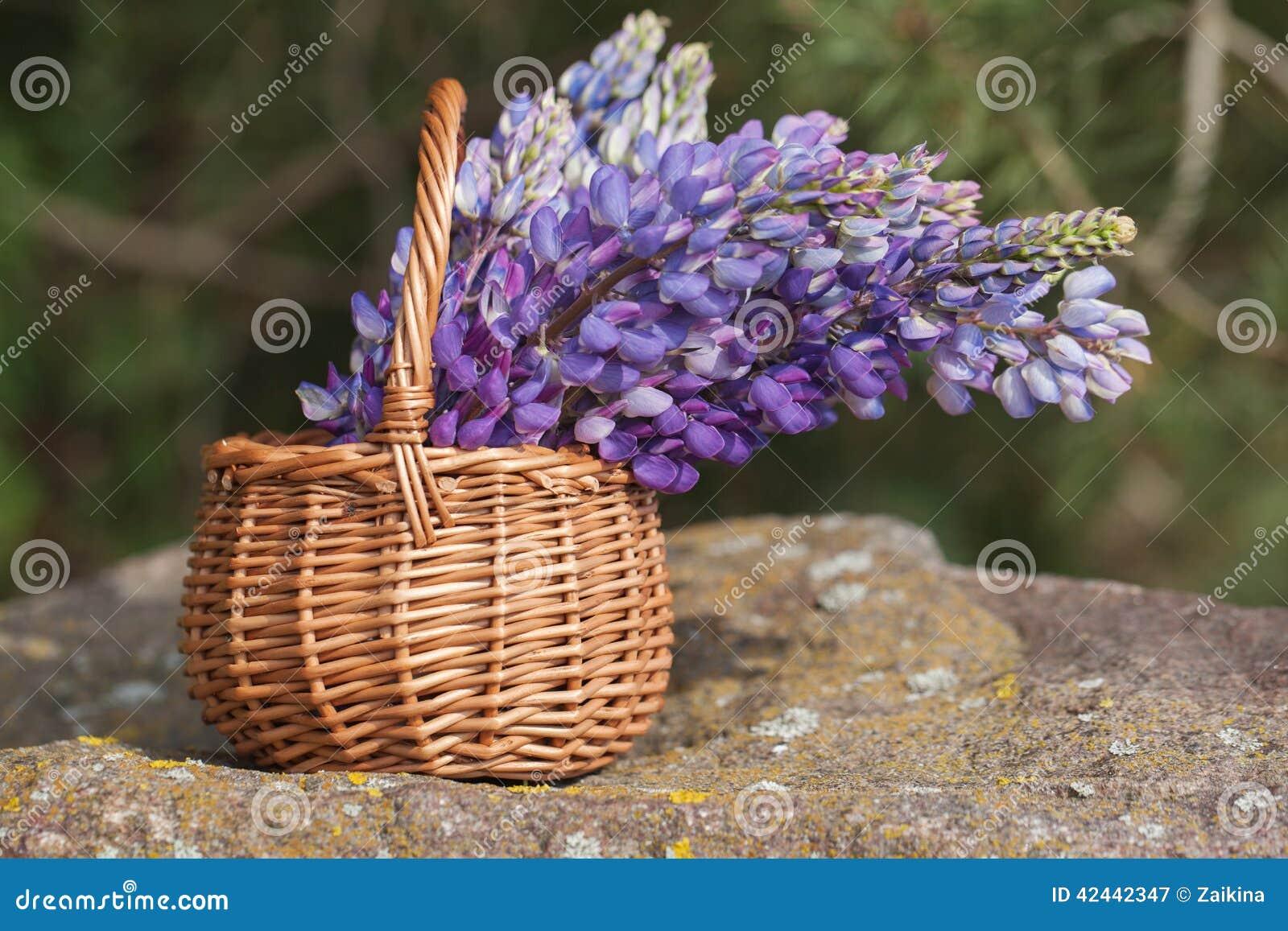 Ramo violeta hermoso del lupine en cesta en el aire abierto
