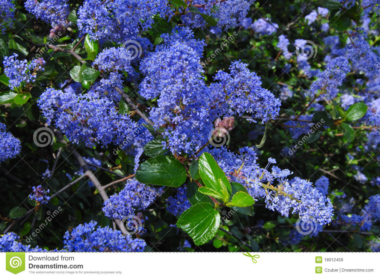 Ramona Lilac Flowers Stock Image Image Of Bloom Wild