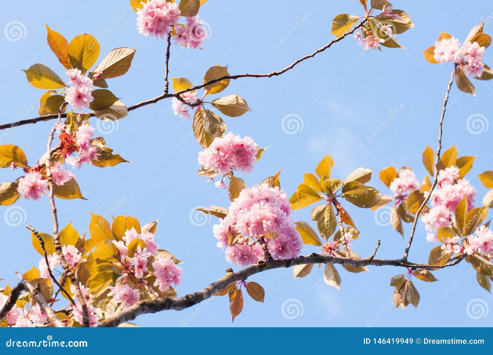 Ramos da flor de cerejeira