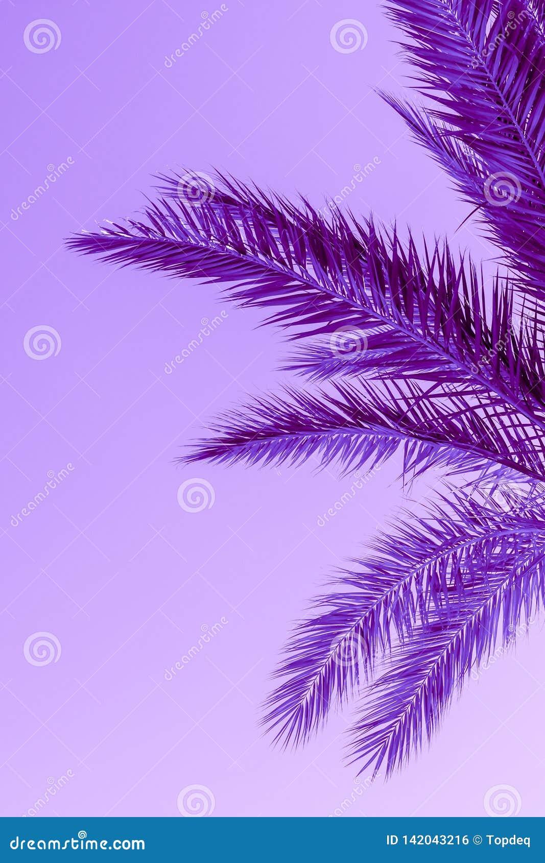 Ramos da palmeira tonificados na cor roxa do protão