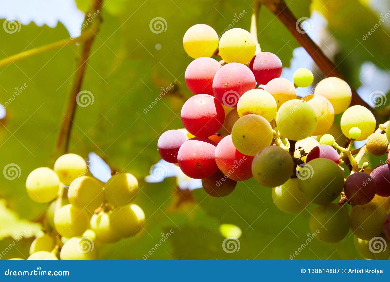 Ramos das uvas frescas do vinho tinto que crescem na exploração agrícola com luz do sol