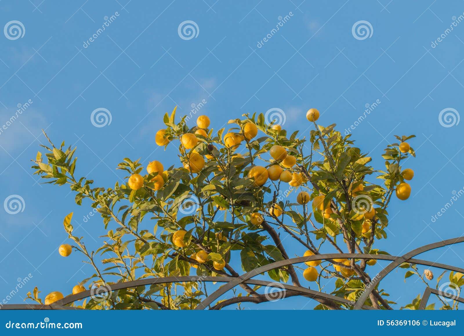 Ramos de uma árvore de limão completamente de frutos maduros