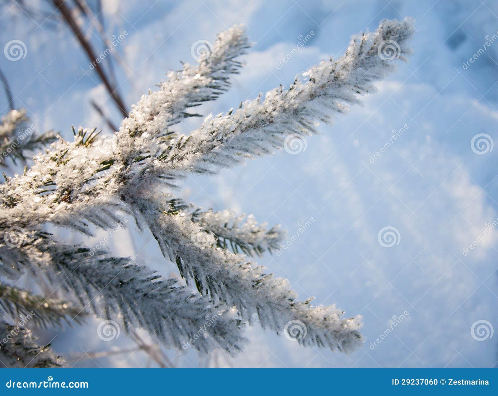 Download Ramos Do Abeto Cobertos Com A Neve Foto de Stock - Imagem de congelado, bonito: 29237060