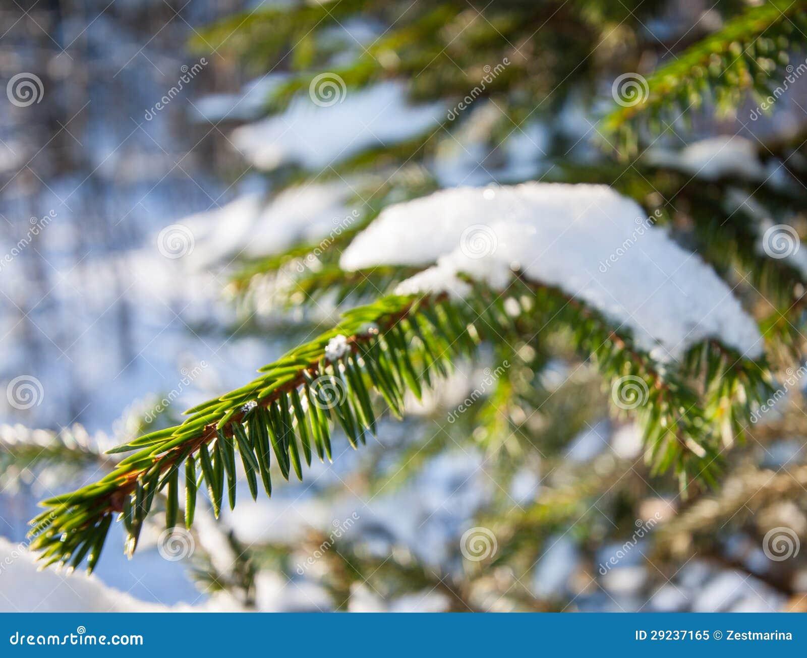 Download Ramos Do Abeto Cobertos Com A Neve Imagem de Stock - Imagem de feriado, parque: 29237165
