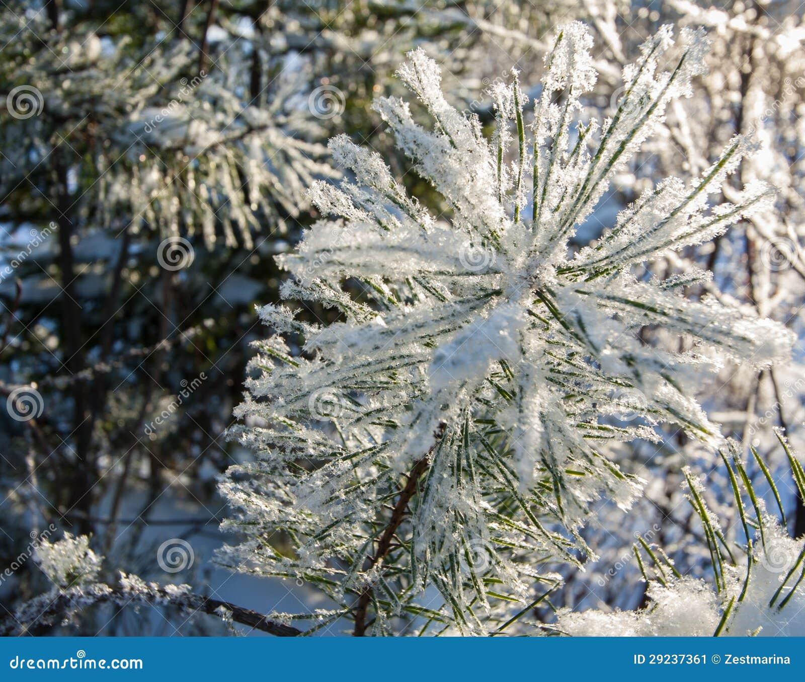Download Ramos Do Pinho Cobertos Com A Neve Imagem de Stock - Imagem de muito, outdoor: 29237361