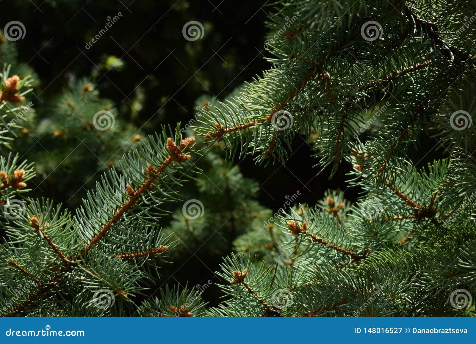 Ramos escuros da árvore conífera