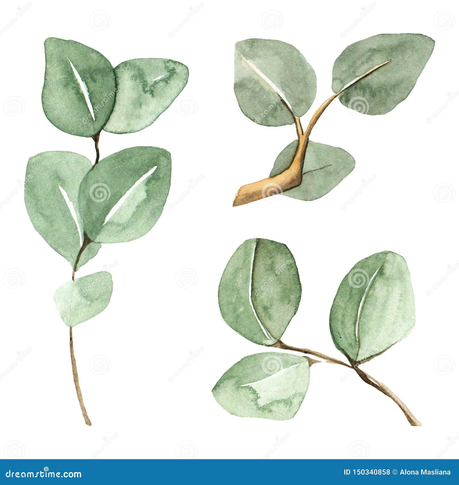 Ramos verdes pintados à mão do eucalipto