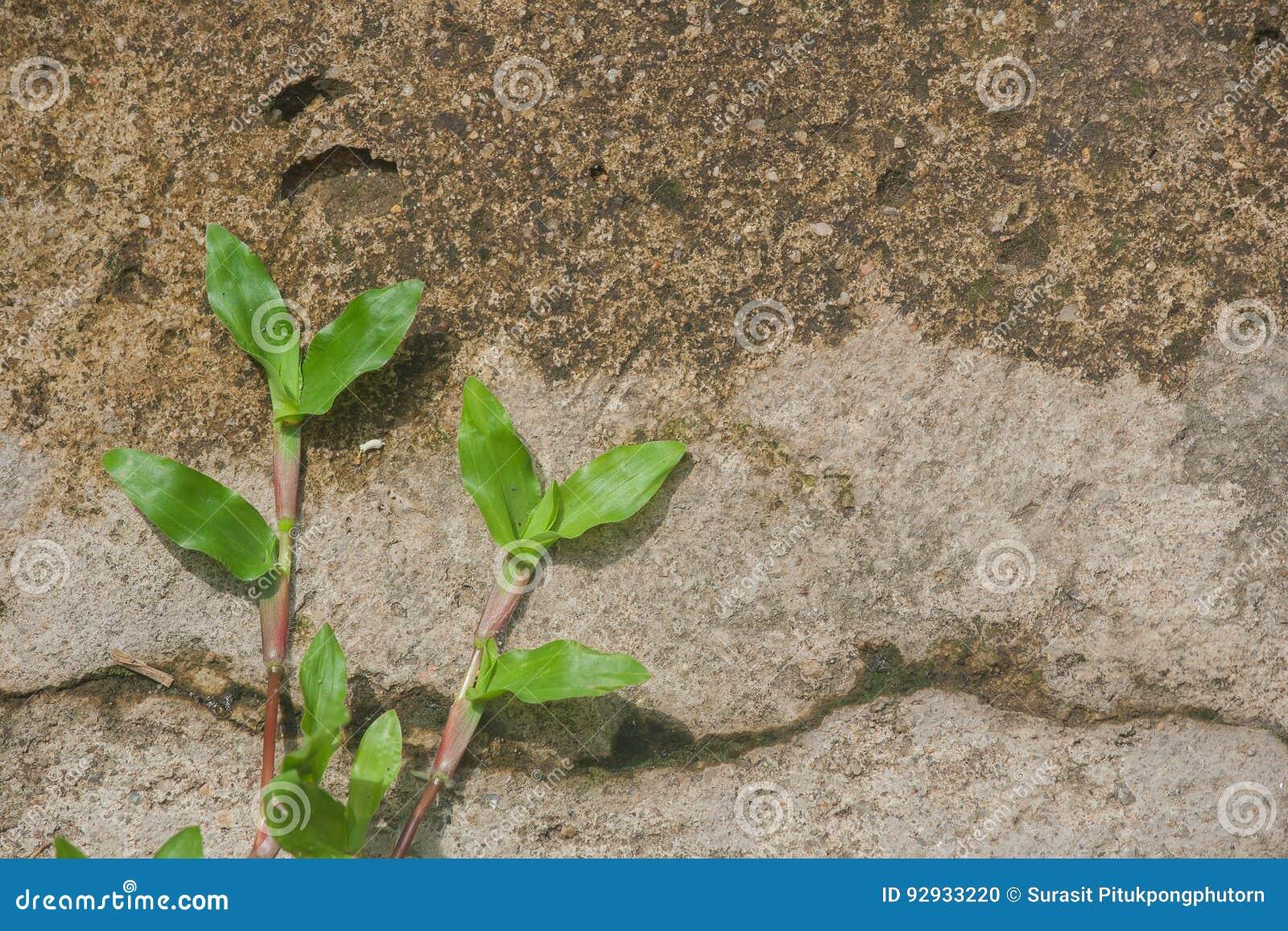 Rampement D Herbe Verte Sur Le Plancher En Beton Au Jardin