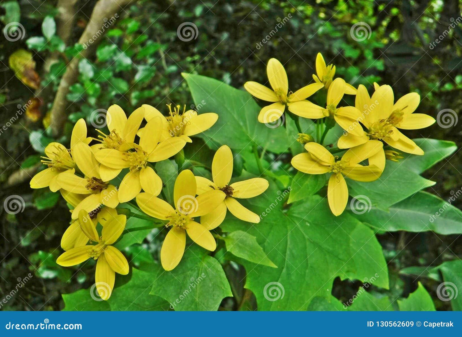Rampicante color giallo canarino
