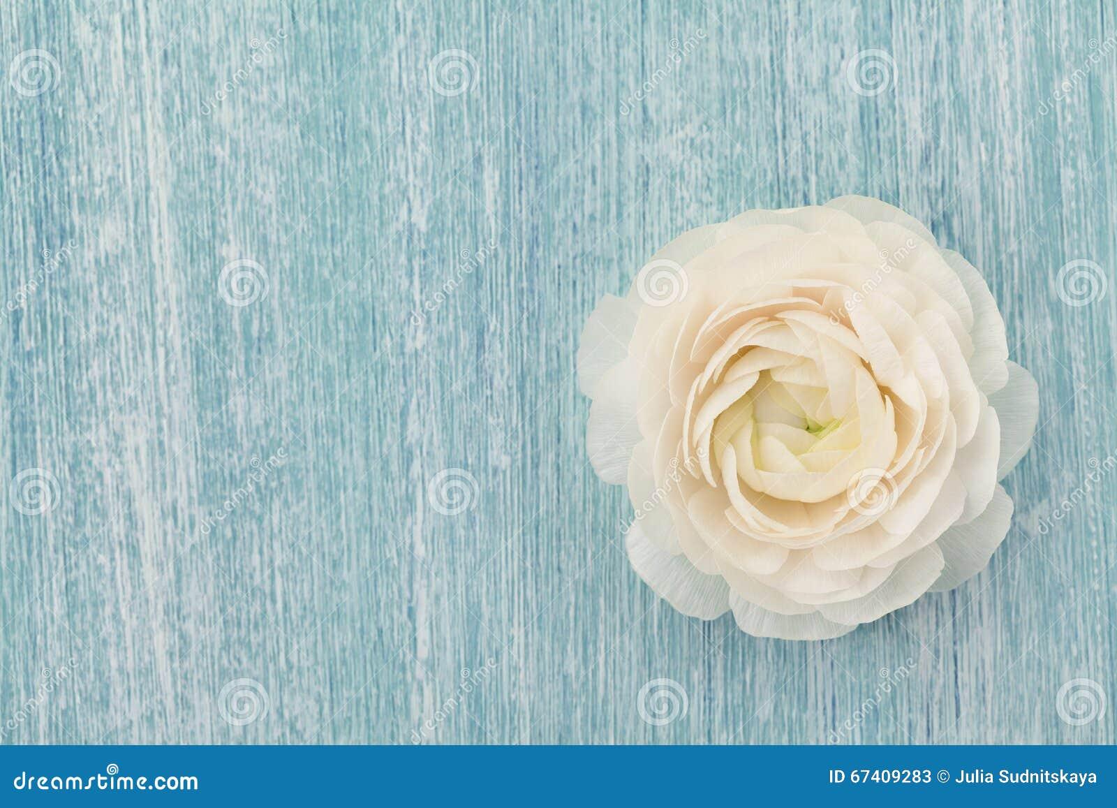 Ranúnculo bonito no fundo gasto azul, flor da mola, cartão do vintage