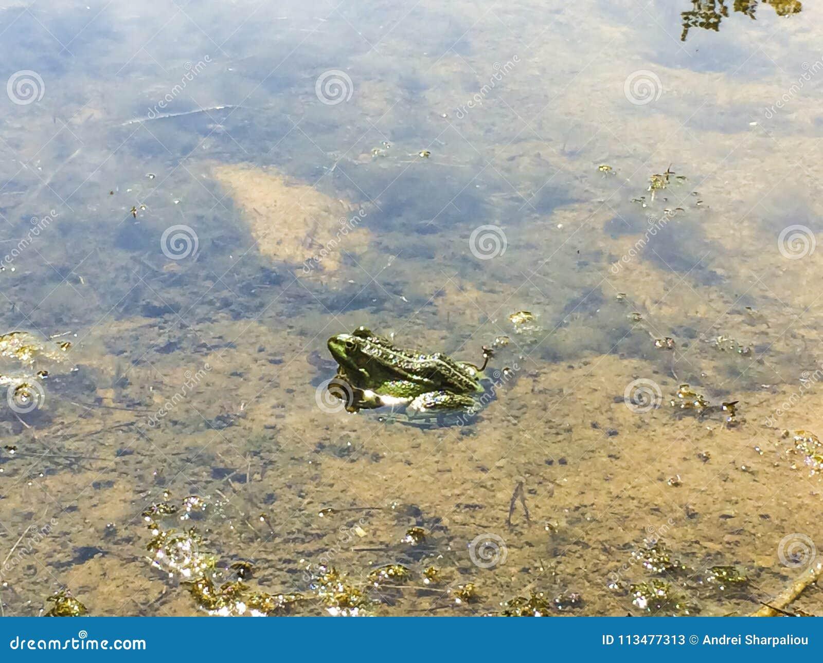 Rana in acqua