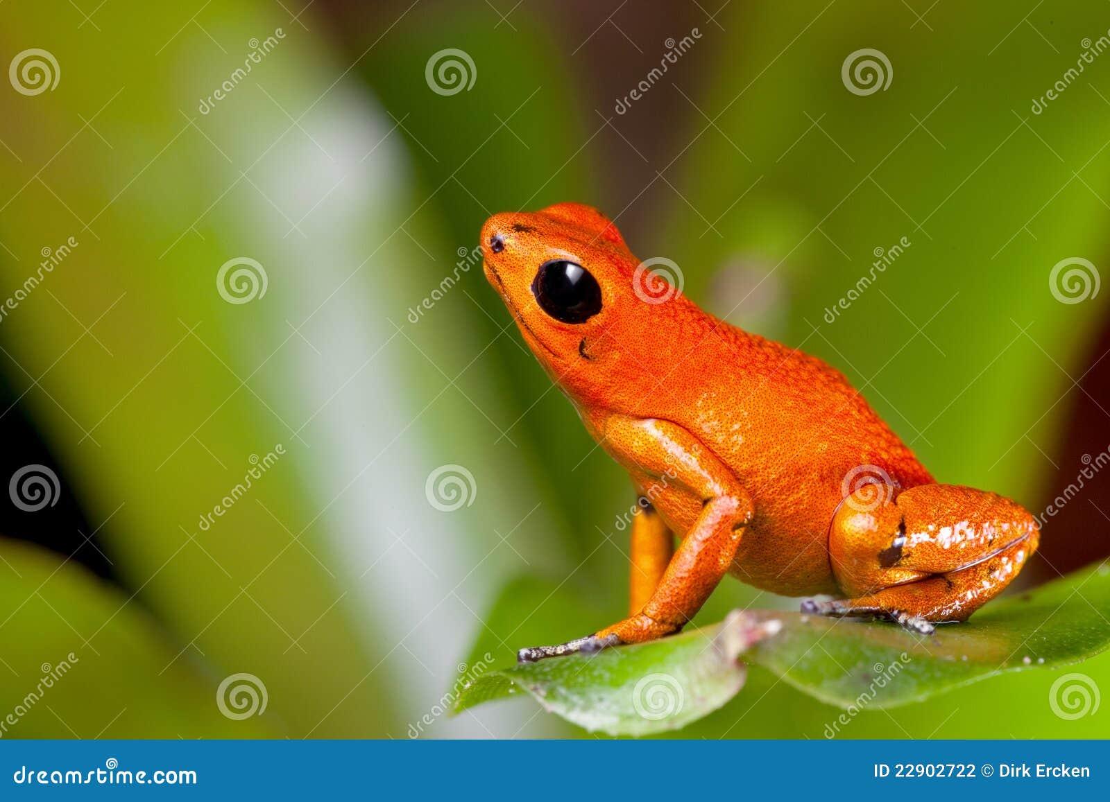 Rana anaranjada del dardo del veneno