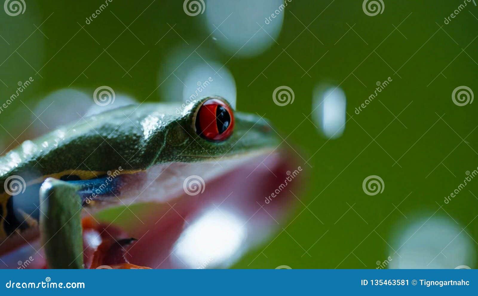 Rana arbórea de ojos enrojecidos Agalychnis Callidryas del Amazonas debajo de la lluvia