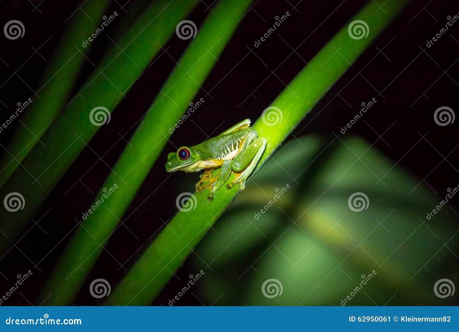 Rana arbórea de ojos enrojecidos (callidryas de Agalychnis) en una rama verde
