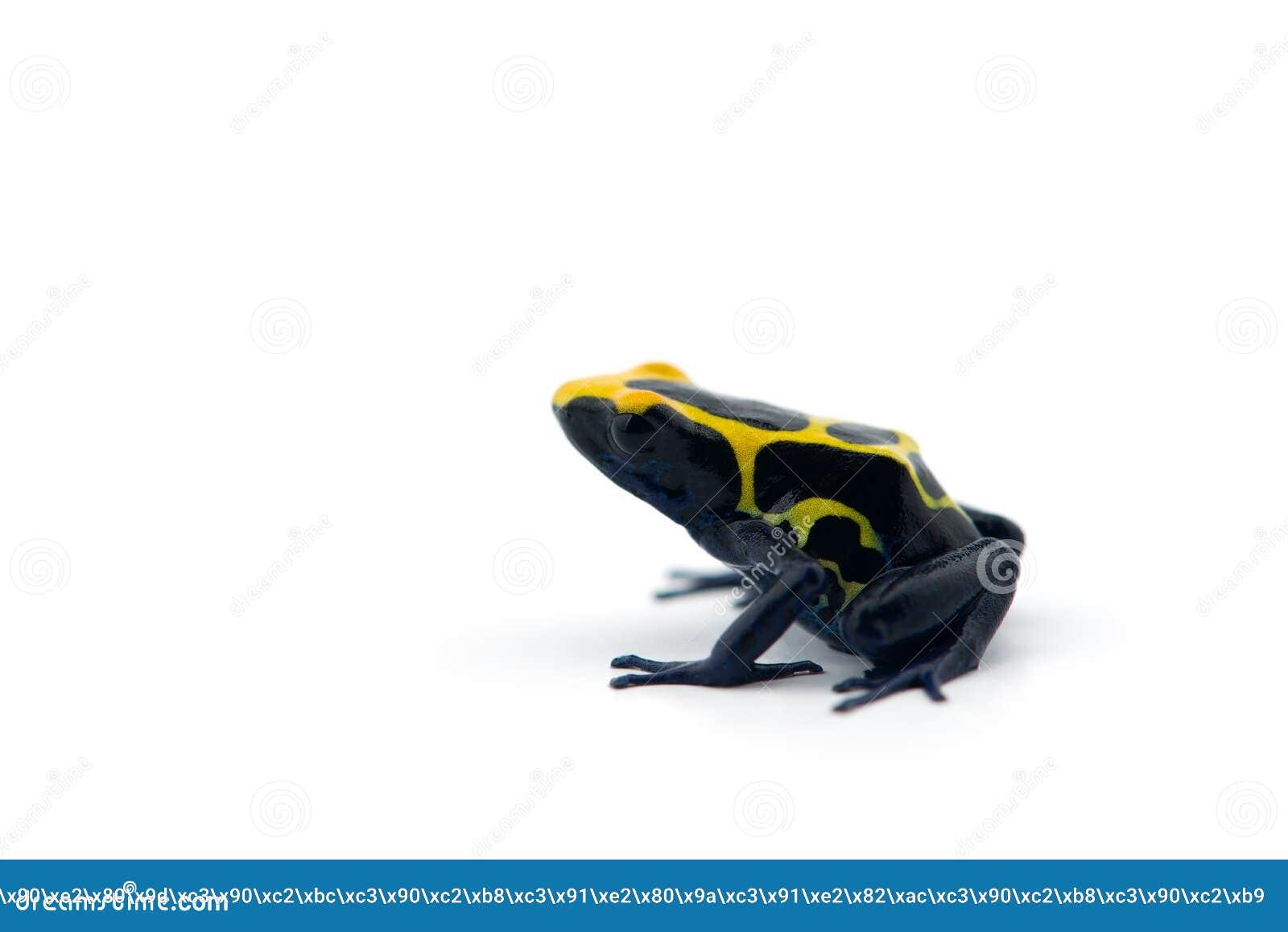 Rana Azul-amarilla del dardo del veneno aislada en el fondo blanco