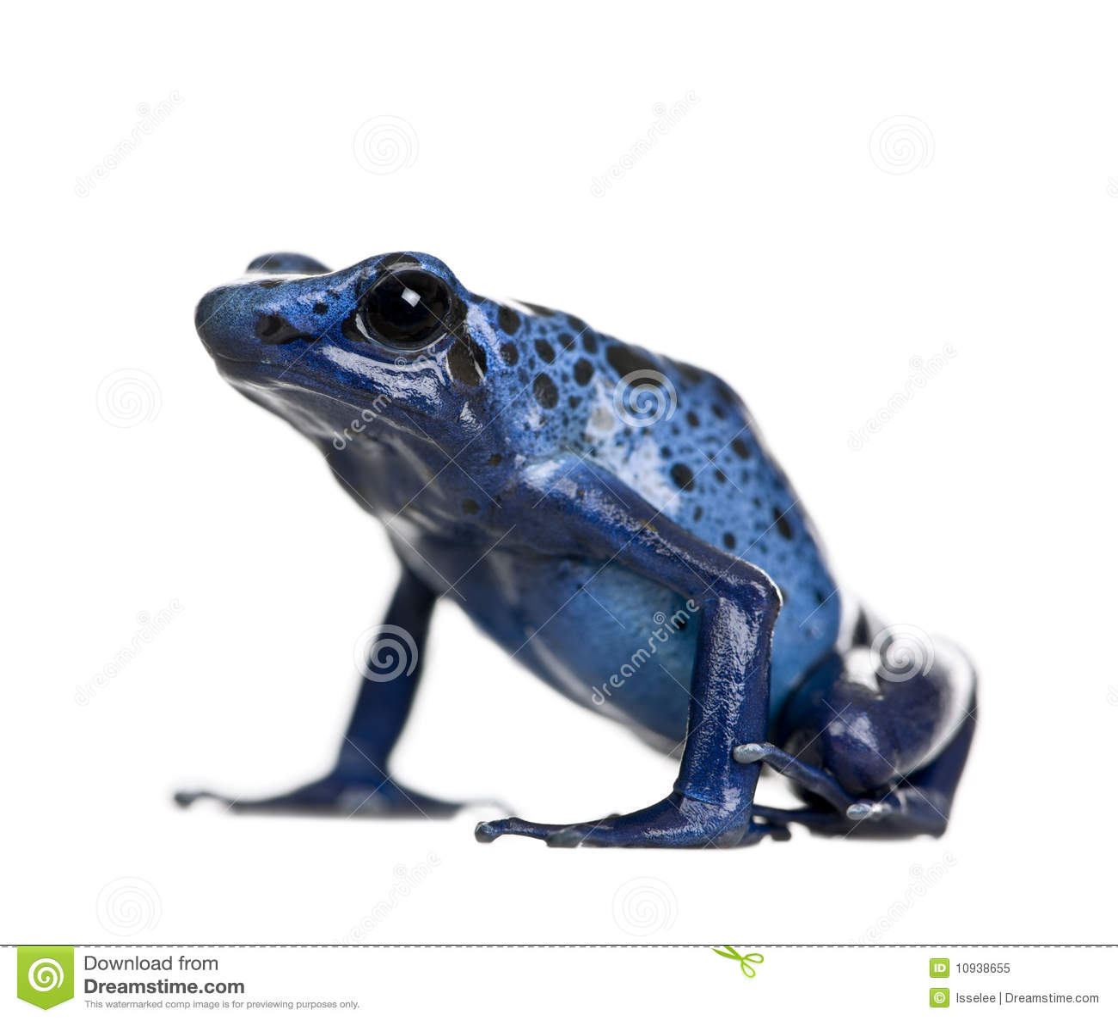 Rana azul del dardo del veneno contra el fondo blanco