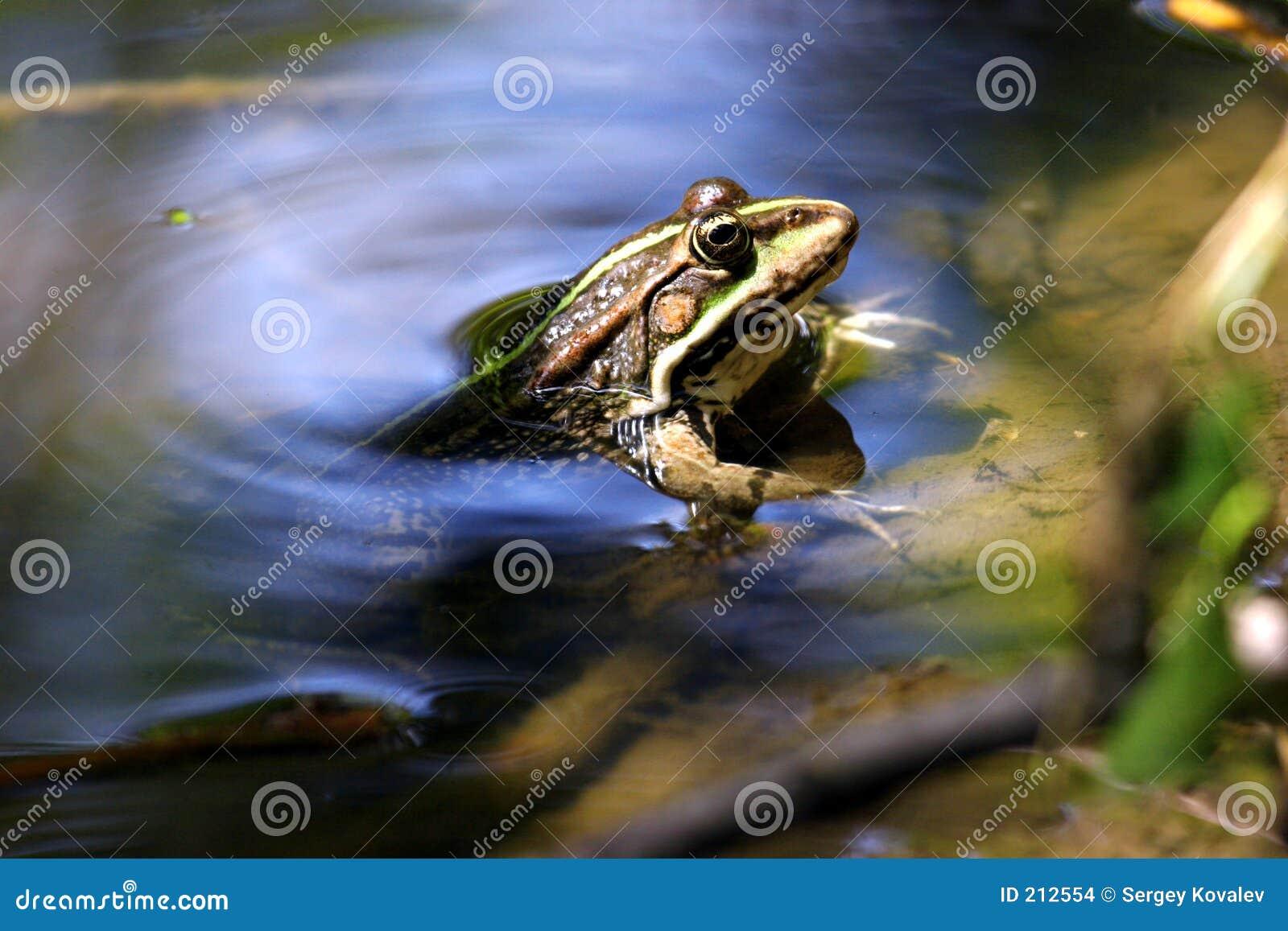 Rana che osserva fuori dall acqua