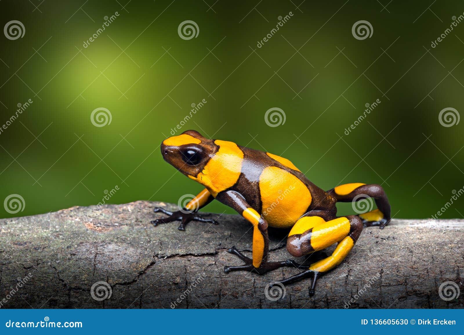 Rana congregada amarilla del dardo del veneno, histrionica de Oophaga