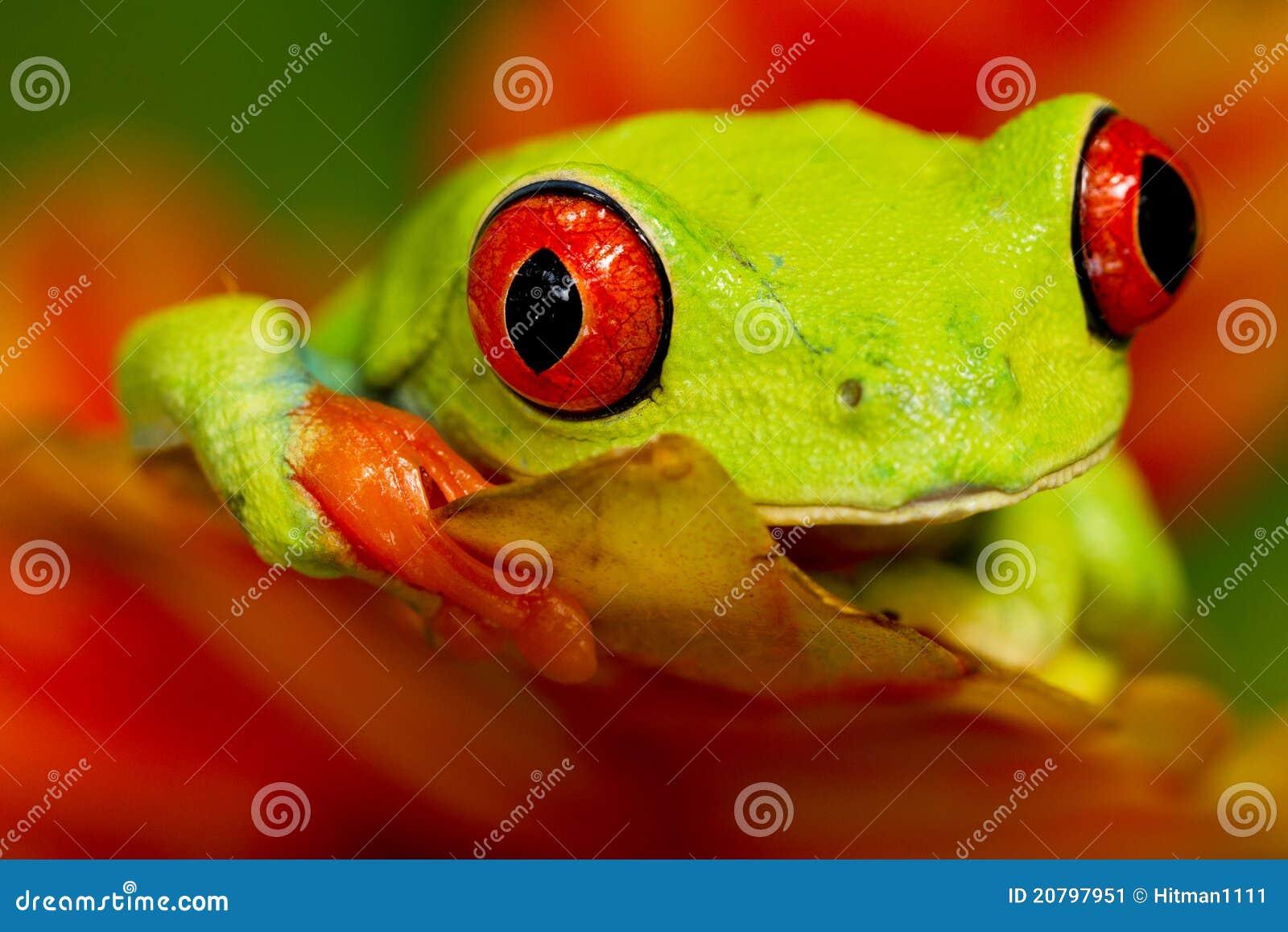 Rana de árbol eyed roja