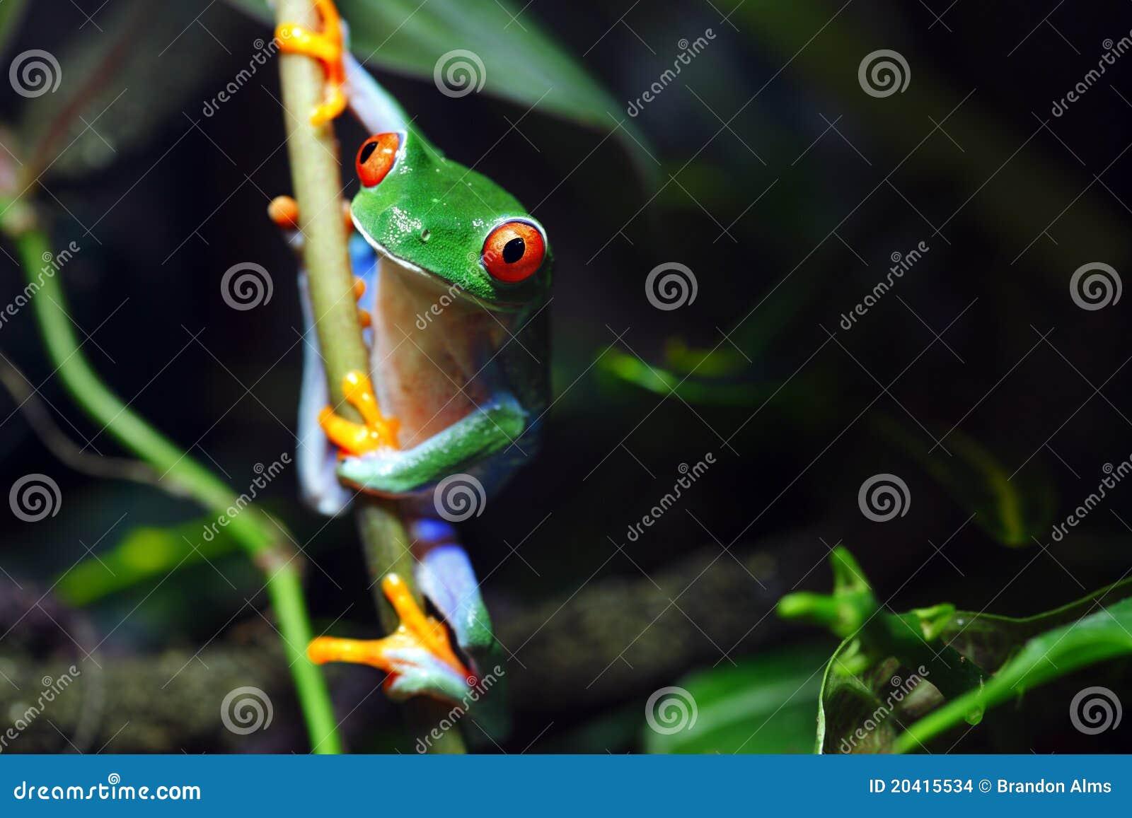 Rana de árbol Red-Eyed