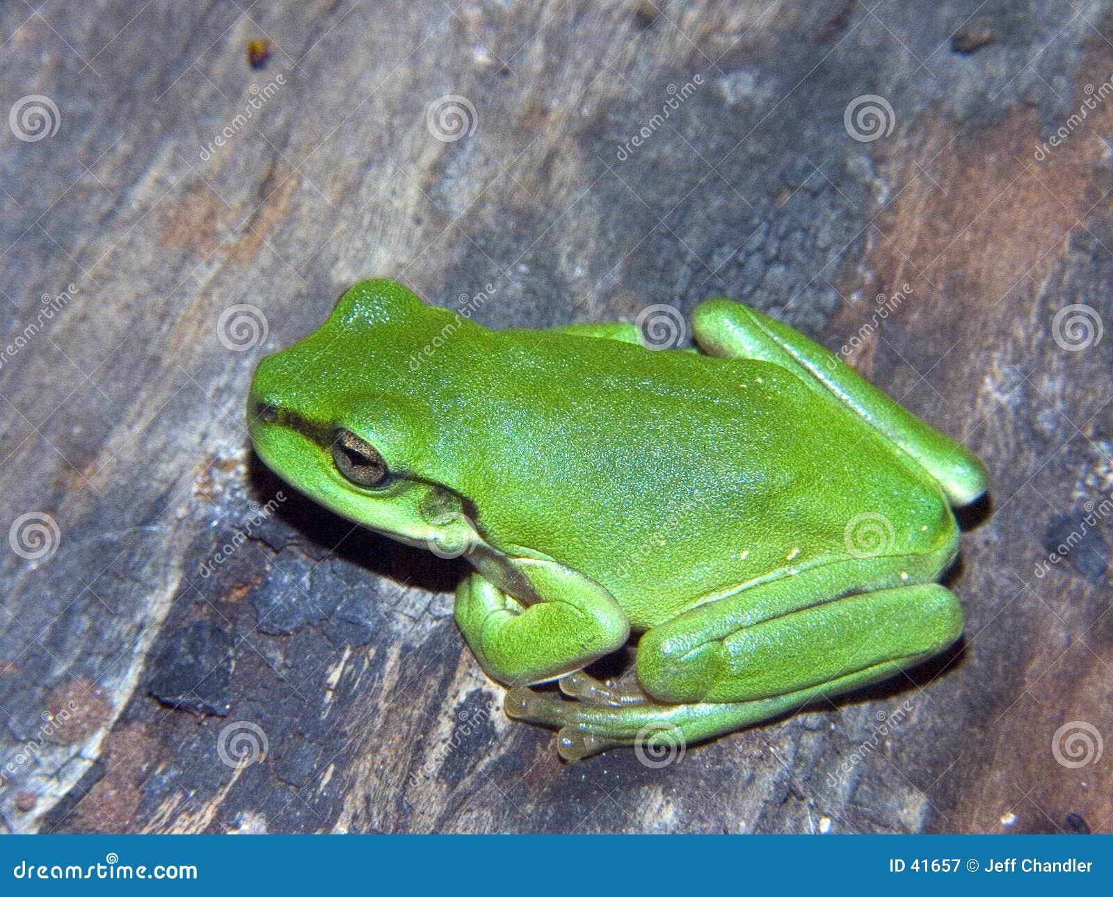 Rana de árbol verde