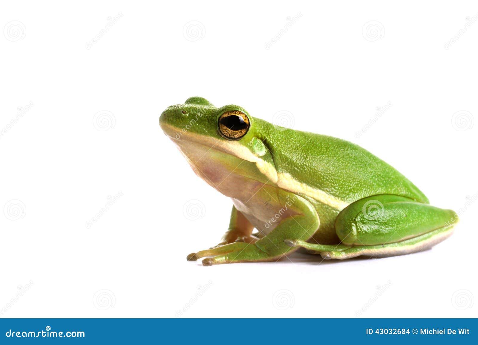 Rana de árbol verde americana