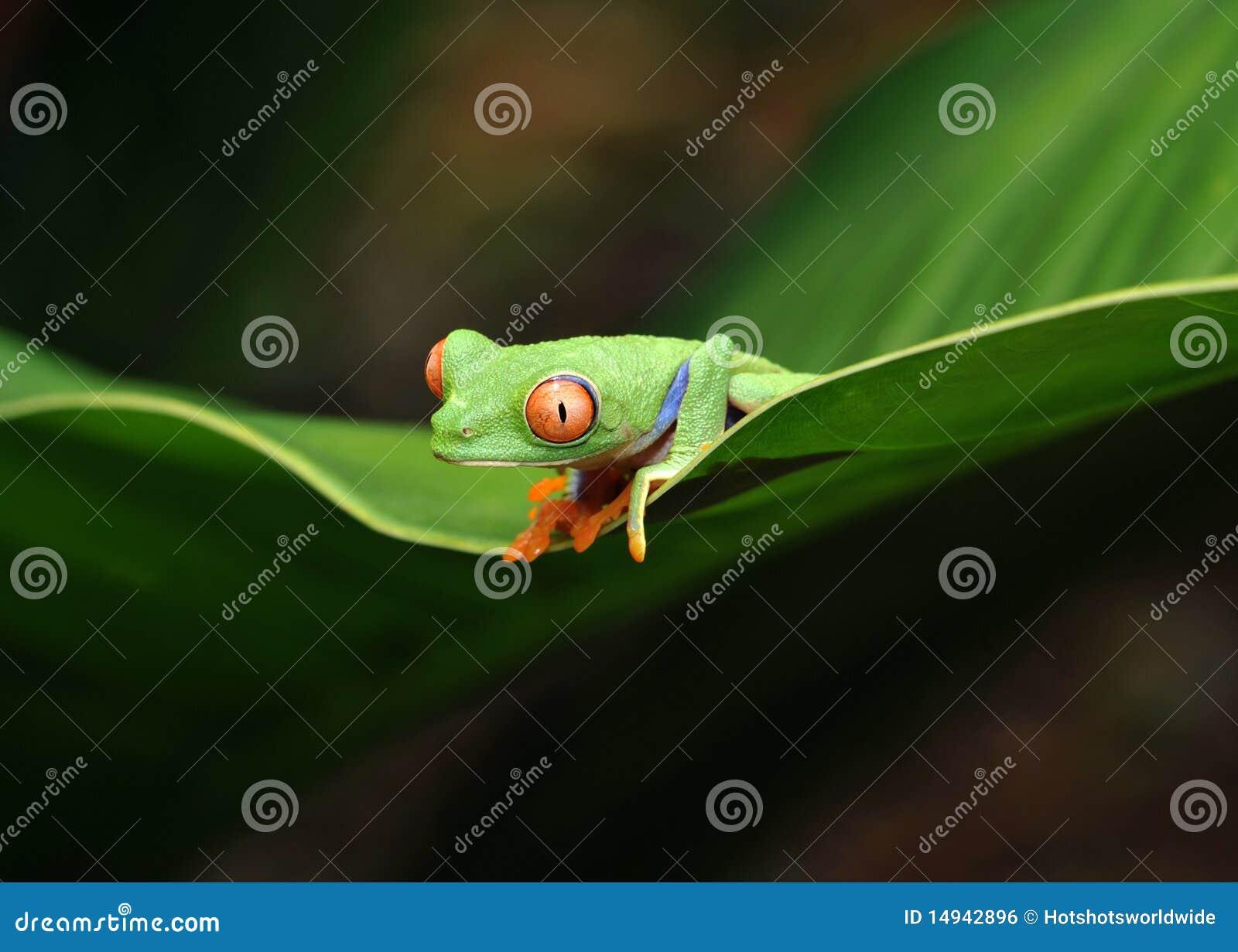 Rana de árbol verde eyed roja, Costa Rica