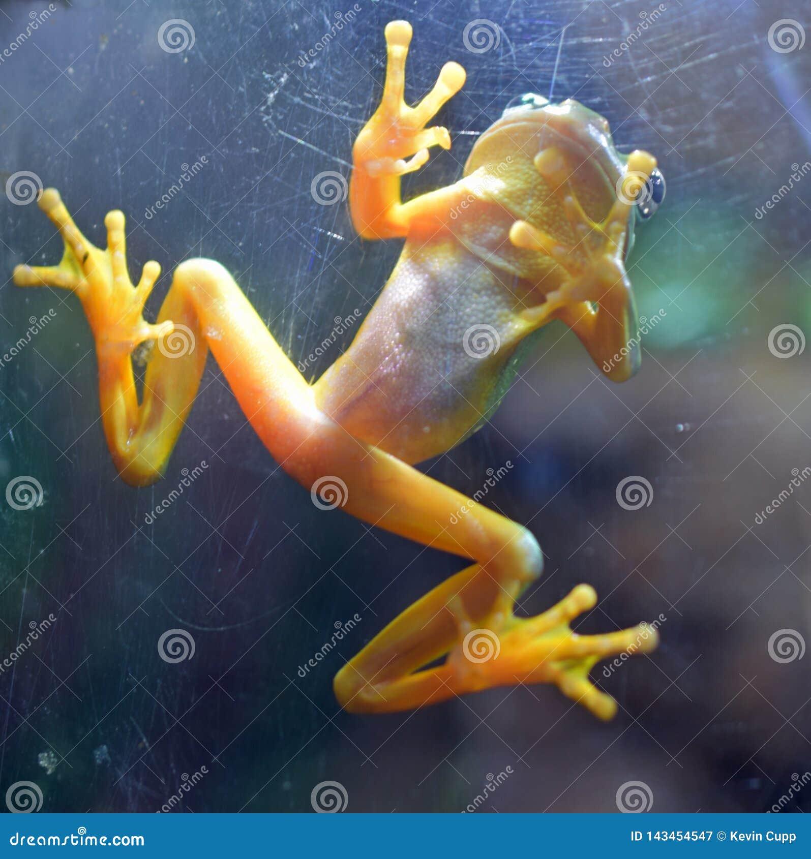 Rana de oro panameña tropical rara