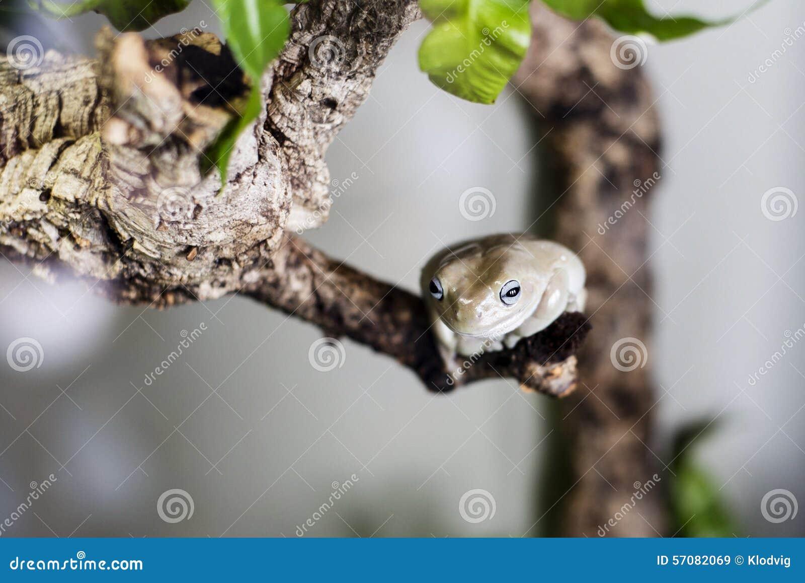 Rana di albero cerea