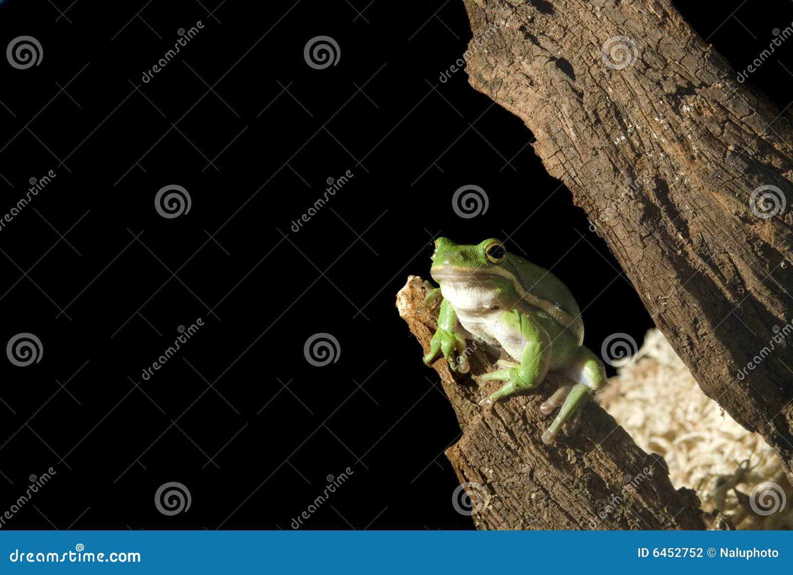 Rana di albero verde