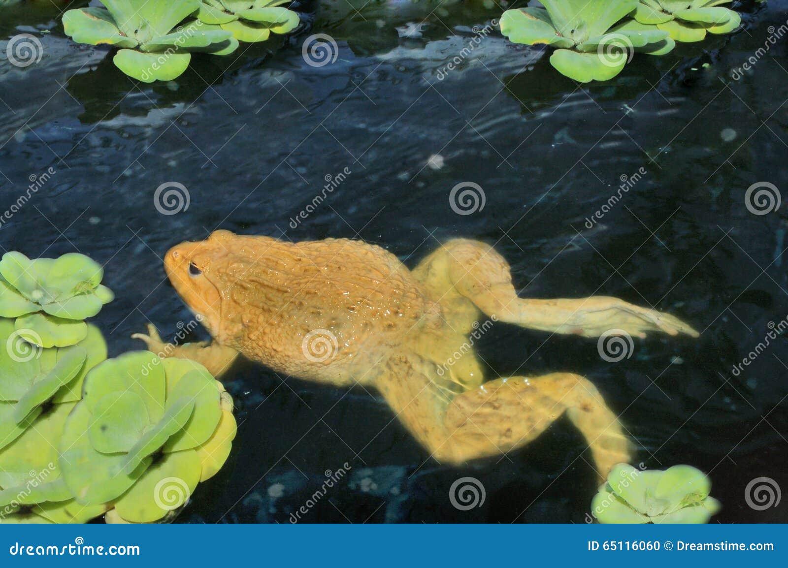 Rana en el agua