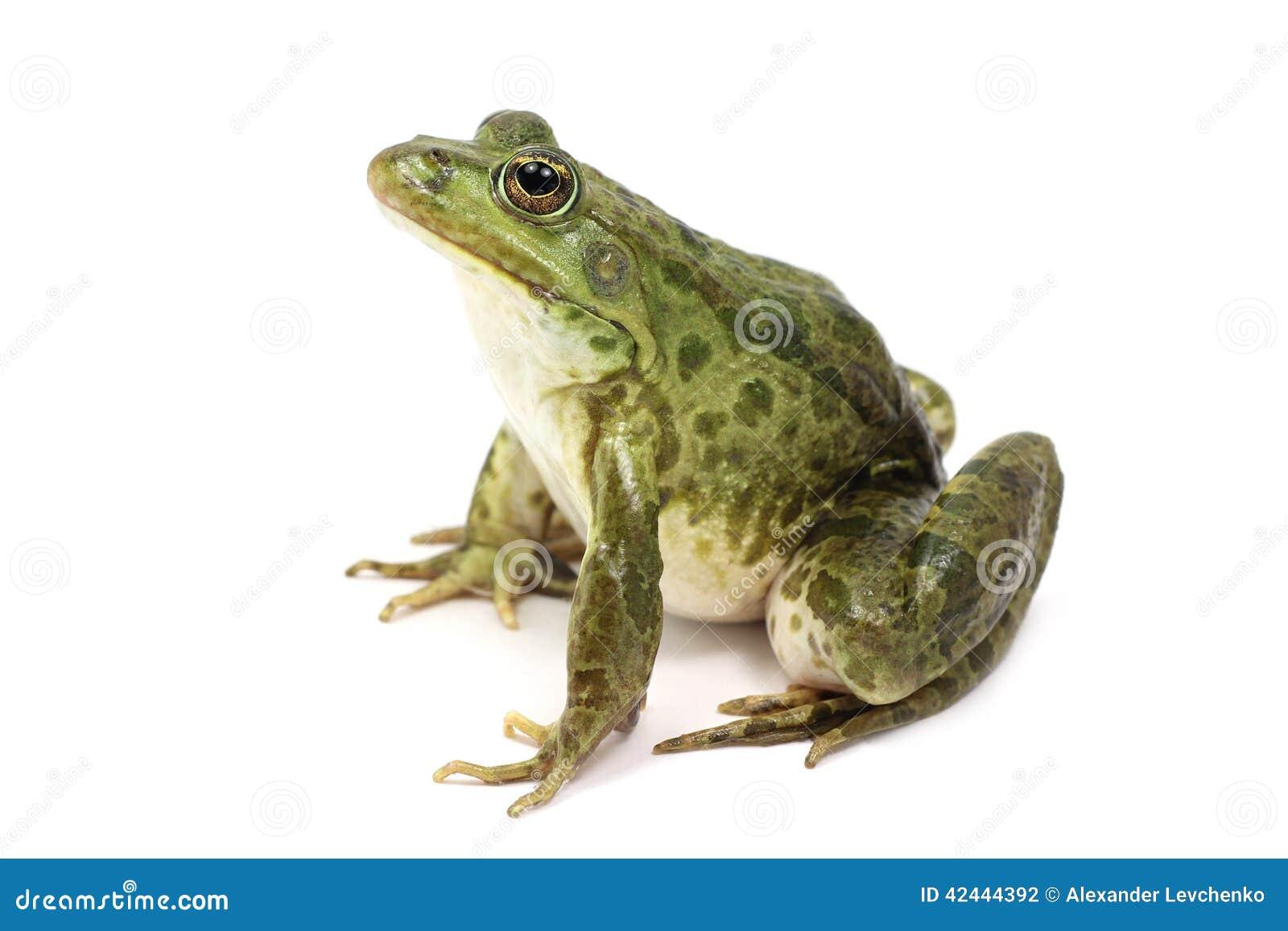 Rana manchada verde del pantano