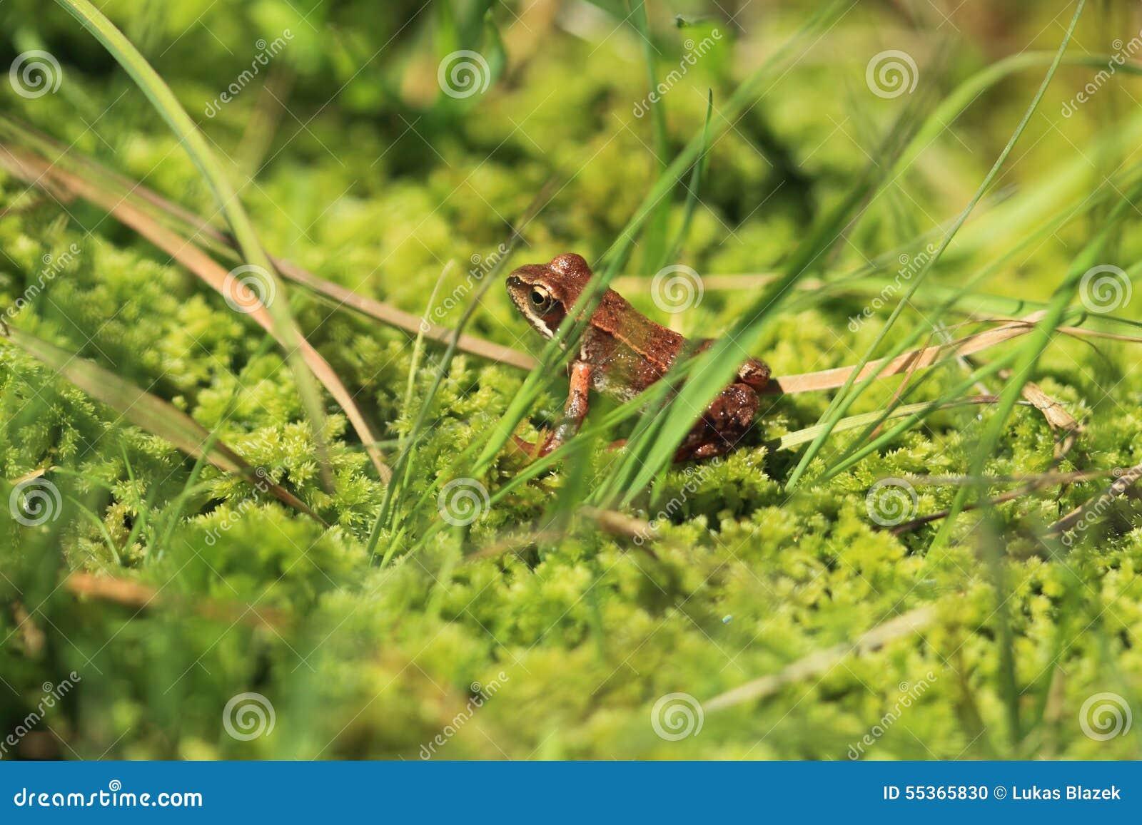 Rana marrone comune dell europeo