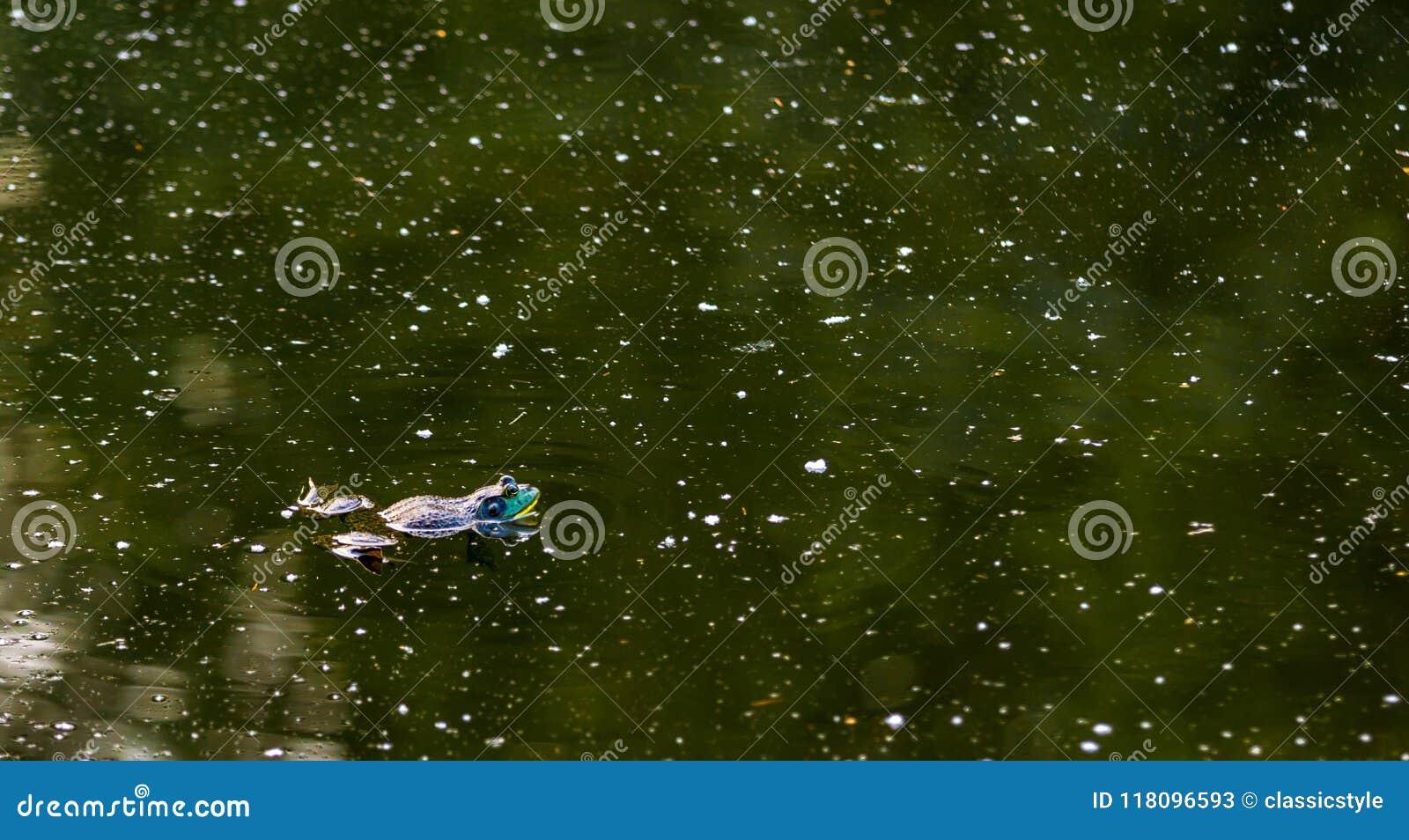 Rana toro americana che galleggia in uno stagno verde oscuro