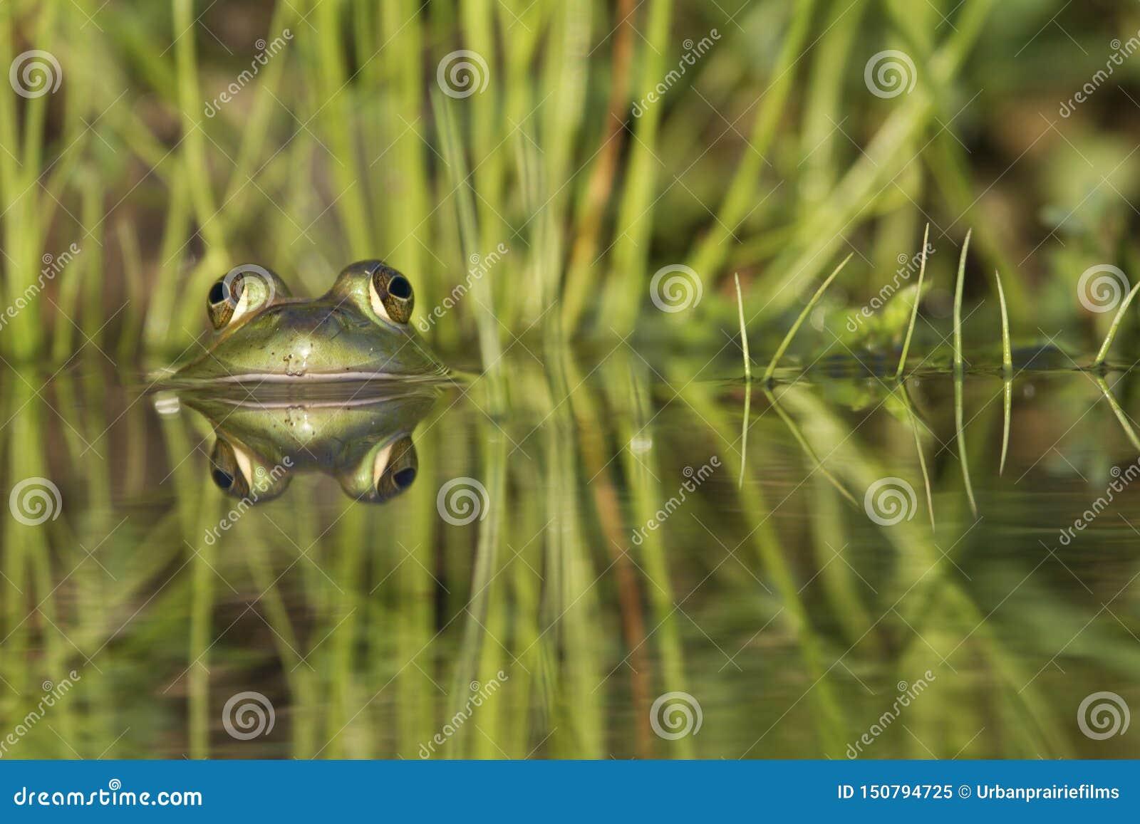 Rana verde duplicada en el agua