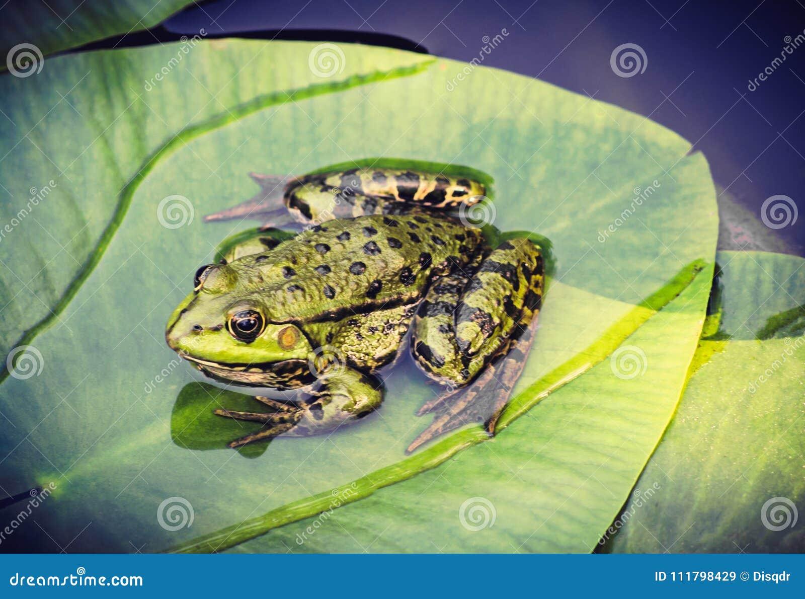 Rana verde en la hoja en la charca