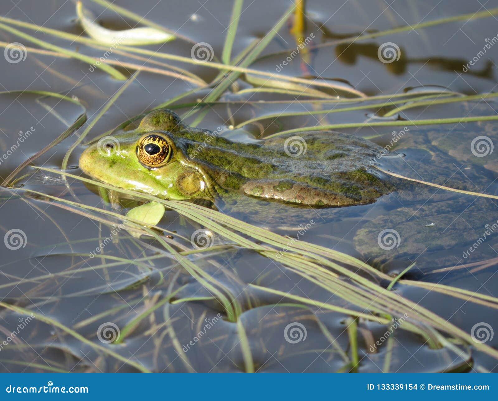 Rana verde sumergida parcialmente en agua, en el fondo de algas