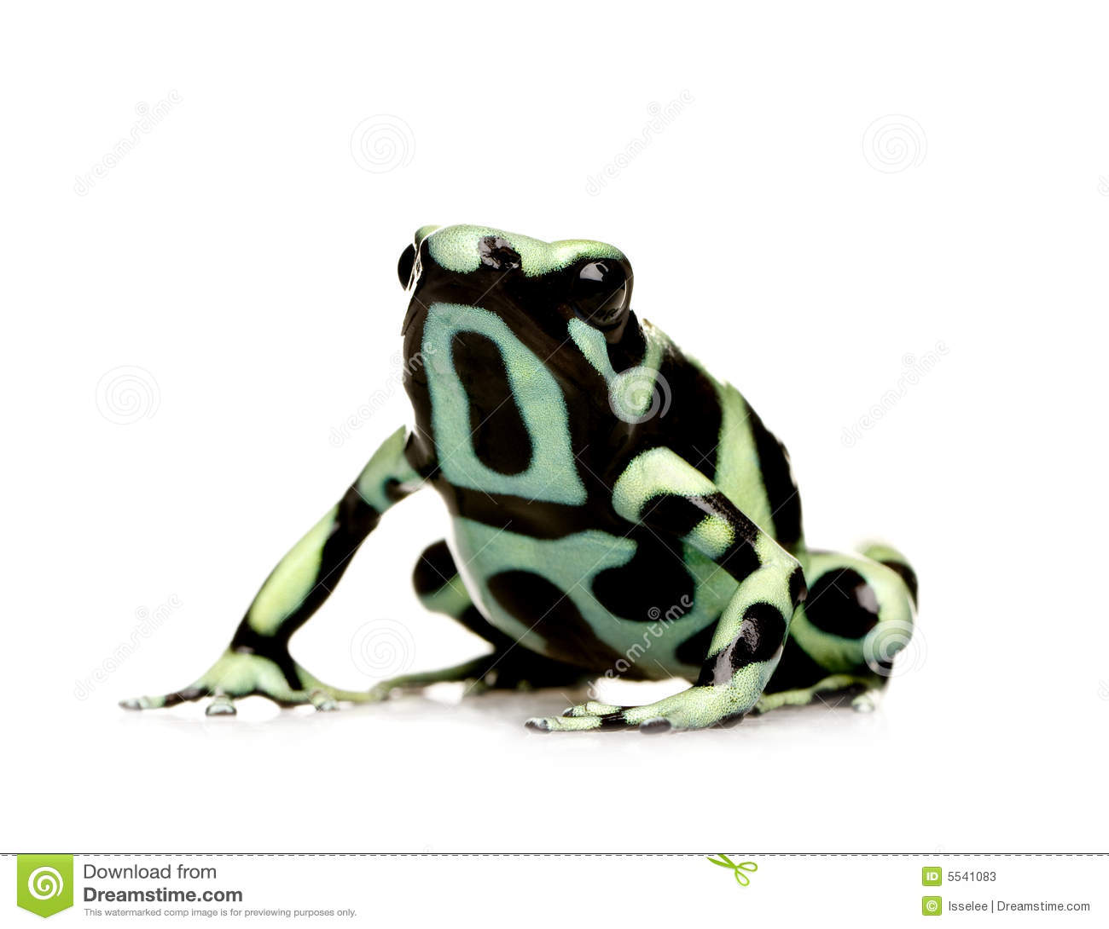 Rana verde y negra del dardo del veneno - aur de Dendrobates