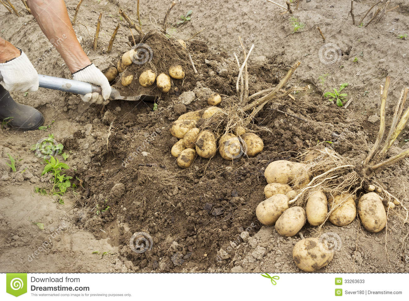 Rancher harvesting potato stock image. Image of produce - 33263633