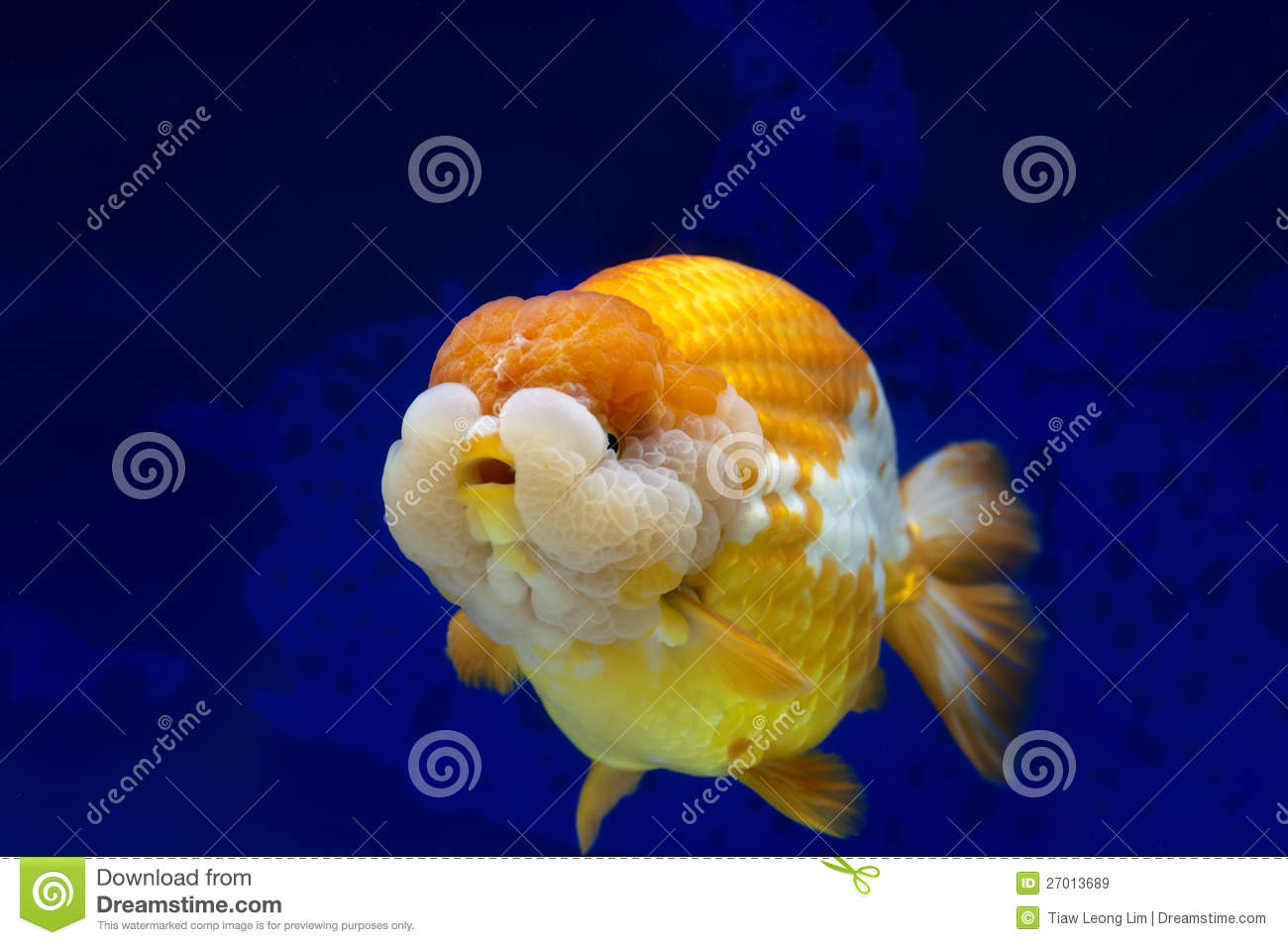 Fish in tank with goldfish - Ranchu Lion Head Goldfish In Fish Tank
