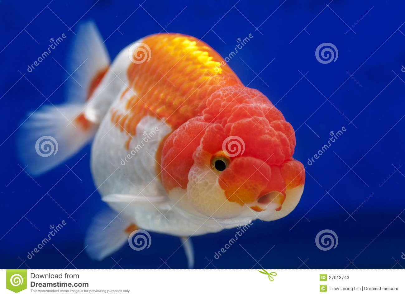 Ranchu lion head goldfish in fish tank stock image image for Golden fish pipe