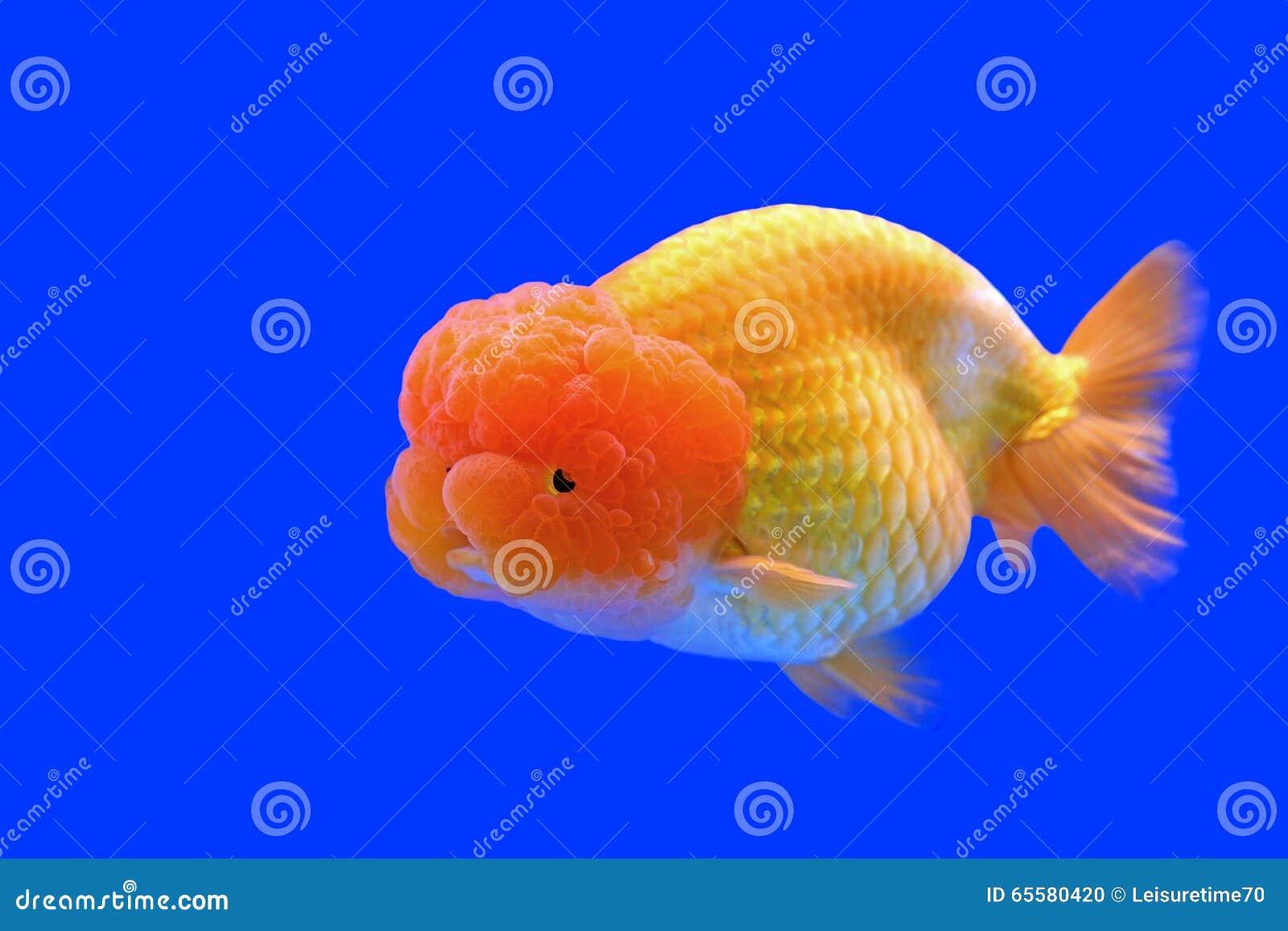 Ranchu ou peixe dourado principal do leão