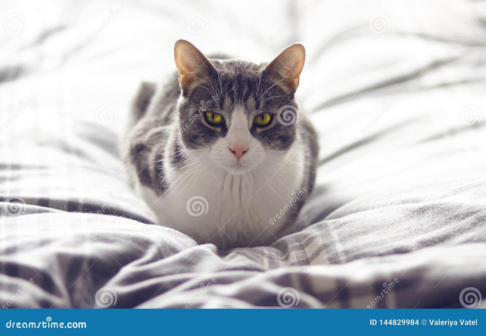 Randig grå katt med underbara gula ögon