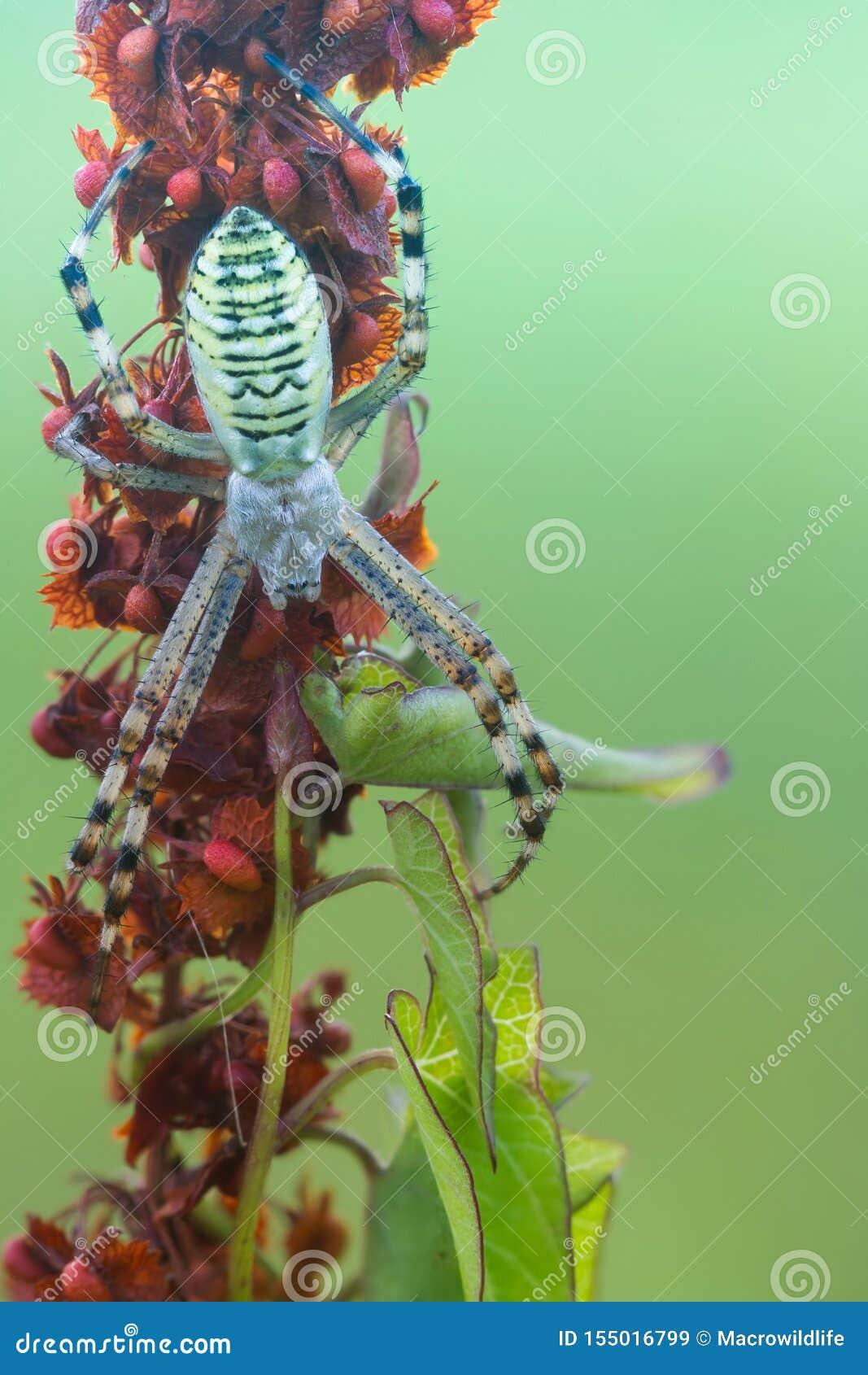 Randig guling-svart kvinnlig getingspindel Bruennichi för Wasp spindelArgiope på växten i natur