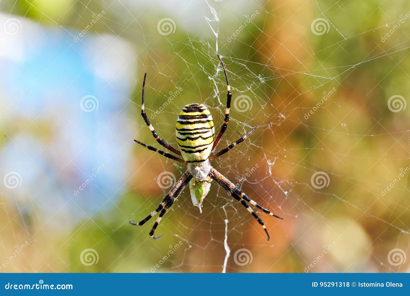 Randig spindelArgiopebruennichi, getingspindel