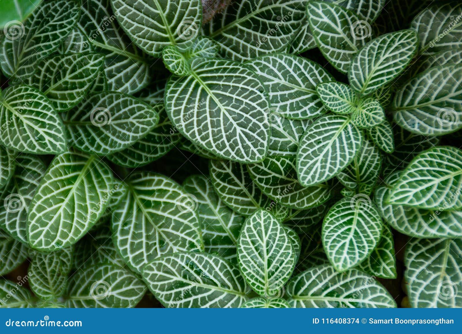 Randigt mörker - det gröna bladet, ser modeller klart