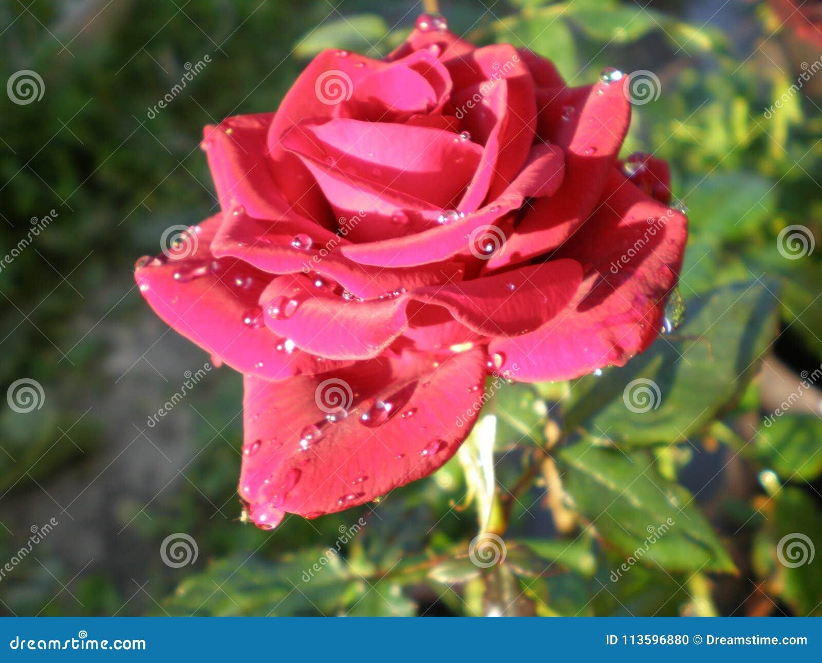 Ranek królowa kwiaty