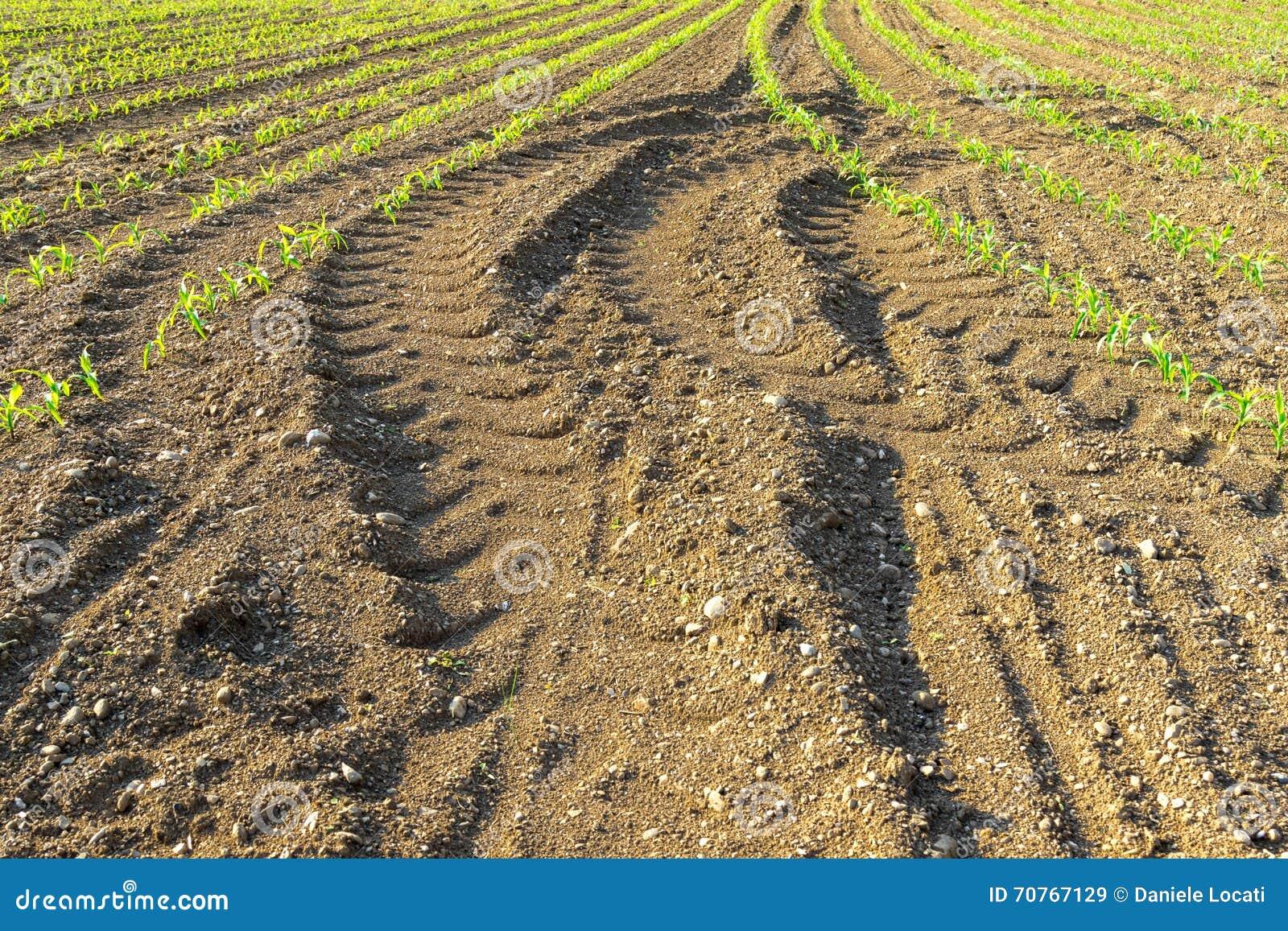 Rangées de petites usines de maïs de l agriculture biologique en Italie